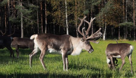 Visit our reindeer farm also in summer